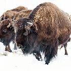 Bison by Eivor Kuchta