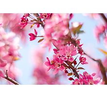 Pink blooms Photographic Print