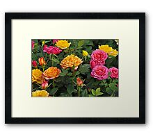 Colorful miniature roses Framed Print