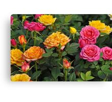 Colorful miniature roses Canvas Print
