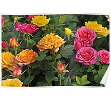 Colorful miniature roses Poster