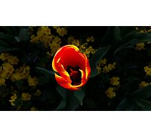 red tulip at sunset Photographic Print
