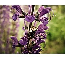 Ladybug and Lavender Gardenscape Photographic Print