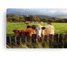Cows of Llanfairfechan Canvas Print