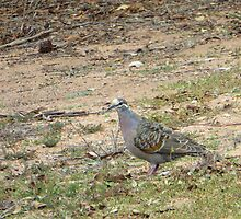 Native Flock Bronzewing Pigeon! Through Glass, 'Arilka' by Rita Blom