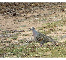 Native Flock Bronzewing Pigeon! Through Glass, 'Arilka' Photographic Print