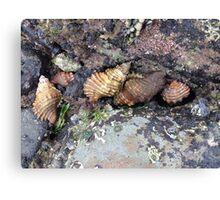 Shells in a tidal pool Canvas Print