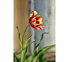 Red And Yellow Parrot Tulip Photographic Print