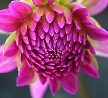Dahlias Face by Joy Watson