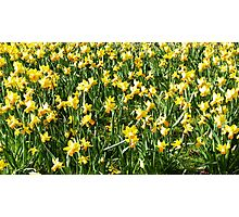 Daffodil field Photographic Print