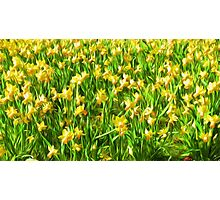 Daffodil Field ( Painting ) Photographic Print