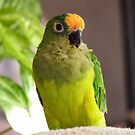 Dancing Delta - Peach-Fronted Conure by AndreaEL