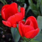 Twin Red Tulips by AnnDixon