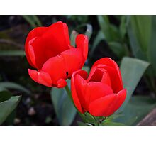 Twin Red Tulips Photographic Print