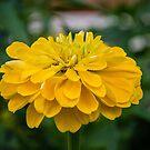 Mellow Yellow Zinnia by DebbyScott