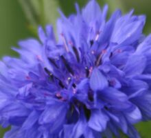 Bachelor's Button (Centaurea cyanis), Washington, USA Sticker