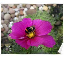 Bee on Cosmos Poster