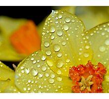 Daffodil Raindrops Photographic Print