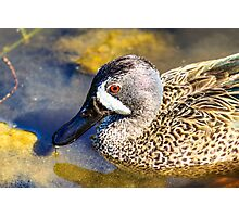 Blue Winged Teal Photographic Print