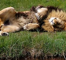 The Laziest Lion by Ladymoose