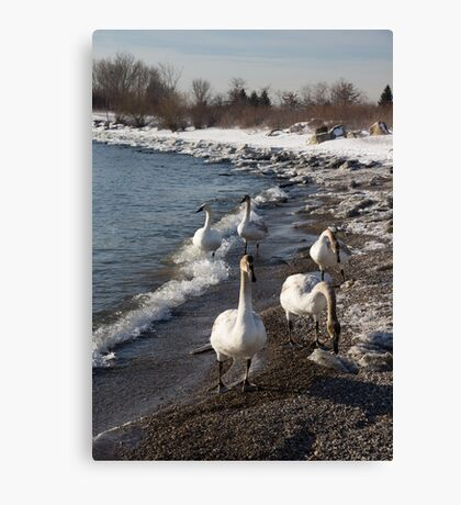 Family Walk on the Beach - Wild Trumpeter Swans, Lake Ontario, Toronto Canvas Print