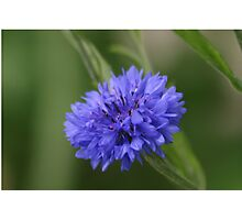 Bachelor's Button (Centaurea cyanis), Washington, USA Photographic Print