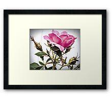 Tara Roses Framed Print