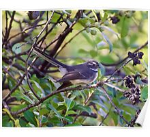 Grey Fantail Poster