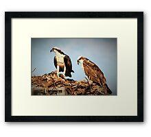 Osprey family Framed Print