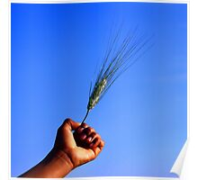 Wheat in hand in blue sky Poster