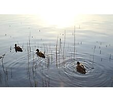 Little Duckies. Photographic Print