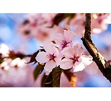Sakura Romantic Photographic Print