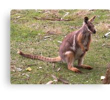 Kangaroo -  Yellow Footed Rock Wallaby Canvas Print