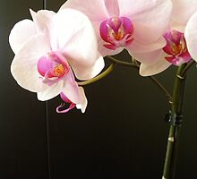 Moth Orchids against the chimney pipe! by Kay Cunningham