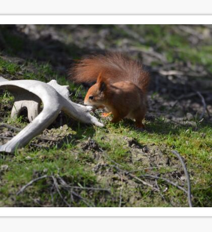 Red Squirrel Sharpening Teeth Sticker