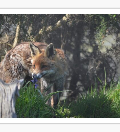 Red Fox Sniffing Flower Sticker