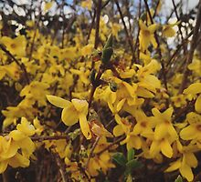 Yellow flowers by Asrais