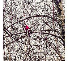 Cardinal Hope Photographic Print