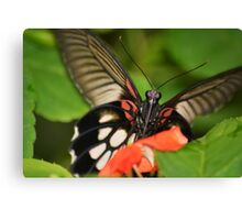 Cheeky butterfly Canvas Print