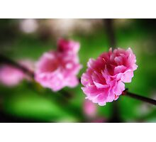 Flowering Almond bush pink 4 Photographic Print
