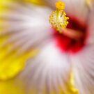 Yellow Hibiscus macro by alan shapiro
