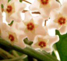 Hoya flowers Sticker