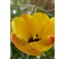 Red and Yellow Tulip Photographic Print