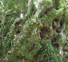 Lichen growing on butt! Ancient Antartic Beech, Purling Brook Falls track. Queensland. by Rita Blom