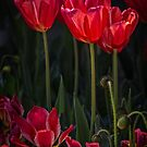 Red Tulips by CarolM