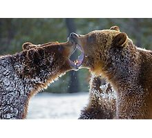 Bears at play Photographic Print
