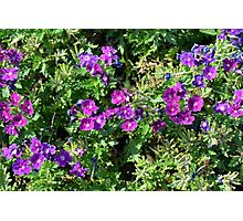 Purple flowers and green leaves natural background. Photographic Print