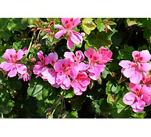 Pink flowers in the garden, natural background. Photographic Print