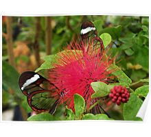 Glass Winged Butterflies Poster
