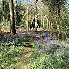 Bluebells in Earlswood by John Dalkin